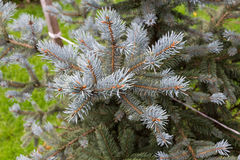 Branch of blue fir tree Royalty Free Stock Photography