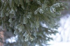 Branch of blue fir-tree blue, green Colorado blue spruce, Picea pungens covered with hoarfrost. New Year's Bekraund. Place for a  Stock Image