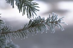 Branch of blue fir-tree blue, green Colorado blue spruce, Picea pungens covered with hoarfrost. New Year's Bekraund. Place for a  Stock Photography