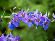 The branch of blue flowers. Very beautiful and delicate flowers grow in the garden. Their petals seem to have absorbed all shades of blue and purple Stock Image