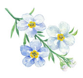 Branch of blue forget-me-not Royalty Free Stock Photos
