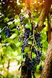 Branch of blue grapes growing in fields. Agriculture, autumn, background, berry, bunch, dessert, food, fresh, fruit, grapevine, green, harvest, healthy, juice stock photography