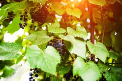 Branch of blue grapes growing in fields. Agriculture, autumn, background, berry, bunch, dessert, food, fresh, fruit, grapevine, green, harvest, healthy, juice royalty free stock photography