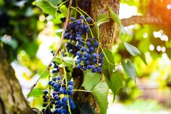 Branch of blue grapes growing in fields. Agriculture, autumn, background, berry, bunch, dessert, food, fresh, fruit, grapevine, green, harvest, healthy, juice stock photo