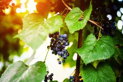Branch of blue grapes growing in fields. Agriculture, autumn, background, berry, bunch, dessert, food, fresh, fruit, grapevine, green, harvest, healthy, juice stock images