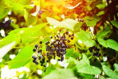 Branch of blue grapes growing in fields. Agriculture, autumn, background, berry, bunch, dessert, food, fresh, fruit, grapevine, green, harvest, healthy, juice royalty free stock photos