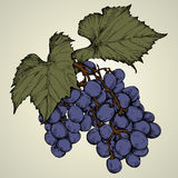 Branch of blue grapes Stock Photos