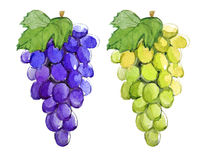 Branch of blue and green grapes, watercolor illustration Royalty Free Stock Image