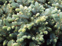 Branch of blue spruce Royalty Free Stock Photos