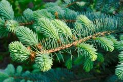Branch of the blue spruce Royalty Free Stock Photography