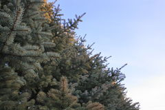 Branch of blue spruce on a background of blue sky in spring Sunny day Stock Photography