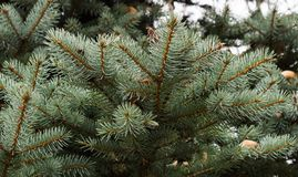 Branch of blue spruce Stock Images