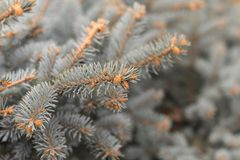 A branch of blue spruce close. Beautiful winter background with needles and branches of a Christmas tree