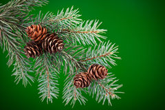Branch of Blue Spruce with cones Royalty Free Stock Image