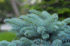 Branch of the blue spruce Stock Image