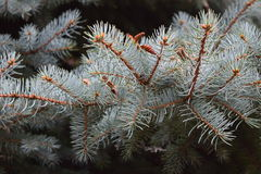 The branch of blue spruce.Fragment. Detail of blue spruce branches illuminated bright sun Royalty Free Stock Photo