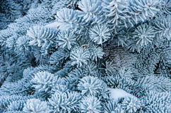 Branch blue spruce Stock Image