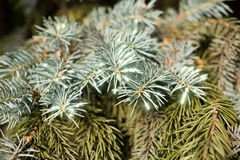 The branch of blue spruce Royalty Free Stock Image