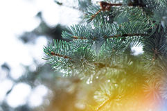 Branch of blue spruce Royalty Free Stock Photography