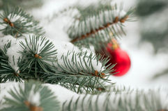 Branch of blue spruce and snow Stock Image