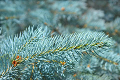 Branch of blue spruce in summertime Royalty Free Stock Photo
