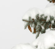 Branch blue spruce trees covered with snow cones Stock Photo