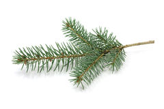The branch of blue spruce Stock Photography