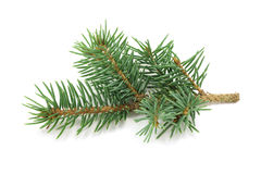 The branch of blue spruce Royalty Free Stock Photography