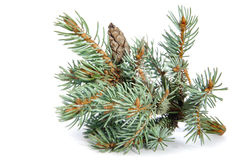 The branch of blue spruce. Stock Photography