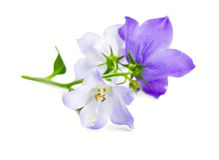 Branch bluebell flower Royalty Free Stock Image