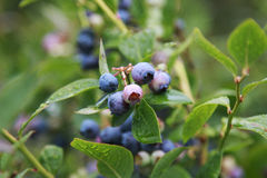 Branch of Blueberries. Clusters Pink and Blue Blueberries on the farm Royalty Free Stock Images