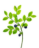 Branch with blueberries isolated on white Stock Image