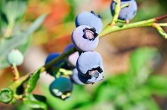 Branch of blueberry Royalty Free Stock Images