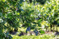 Branch of blueberry with berries ,the harvest..nature royalty free stock photography