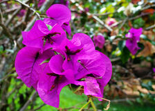 Branch of bougainvillea Stock Photo