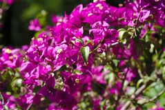 Pink Bougainvillea flower branch. Branch of Bougainvillea spectabilis rose flowers. Nyctaginaceae stock images