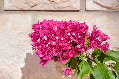 A branch of bougainvillea on a stone textured wall on a Sunny day. Stock Photos