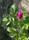 Branch of  briar with pink flower and leaves on blurred background. Dogrose, rosehip, wild rose, dog rose, sweetbriar stock images