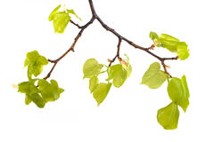 Branch with bright green leaves Stock Photo