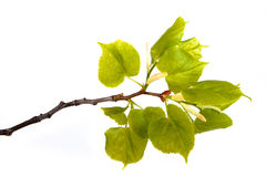 Branch with bright green leaves Stock Photos