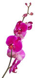 Branch with bright large pink orchid blooms Royalty Free Stock Photography