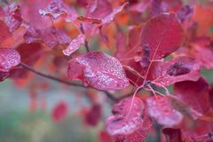 Branch with bright red autumn leaves Stock Image