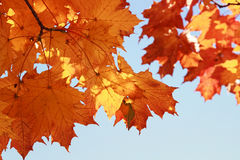 Branch with bright red and yellow autumn maple leaves  on blue sky background Stock Photography