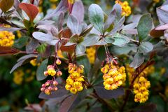 Branch with bright yellow flowers of blossoming barberry Royalty Free Stock Photos