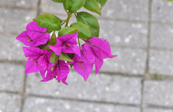 Branch brimming with bougainvillea Royalty Free Stock Photography
