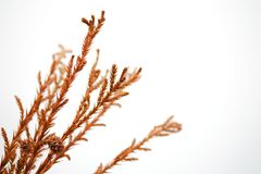 Branch and brown leaves. On a white background Royalty Free Stock Image