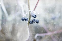 Frozen berries on a branch under snow royalty free stock photo