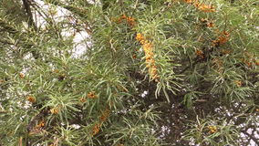 Branch with buckthorn berries sways in wind stock video footage