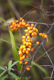 Branch of buckthorn with ripe berries close up Royalty Free Stock Image