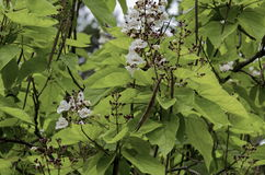 Branch with bud and bloom of Indian Bean Tree flowers  or Catalpa bignonioides. Sofia, Bulgaria Royalty Free Stock Image